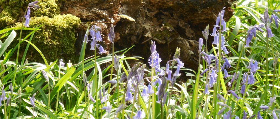 Bluebells at Foxborough Wood, 2014